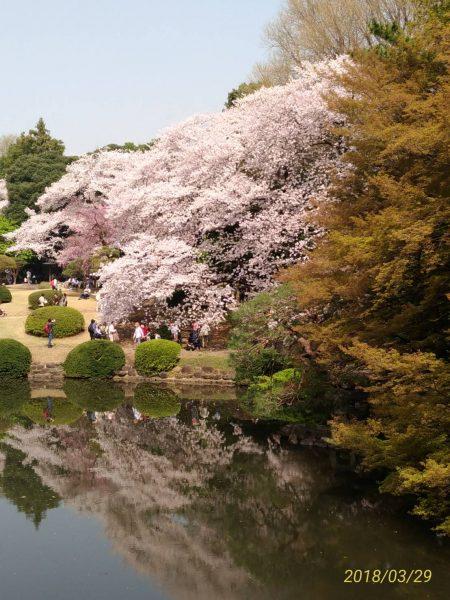 新宿御苑の台湾閣から見た桜の絶景